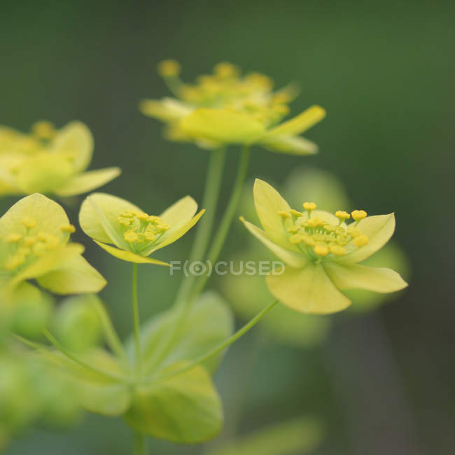 Closeup view of euphorbiaceae wildflower blossom — Stock Photo