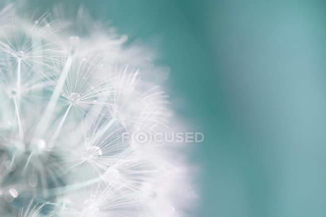 Fleur de pissenlit avec gouttes d'eau — Photo de stock
