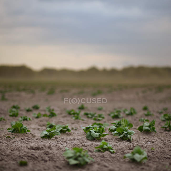 Green salad plants in field — Stock Photo