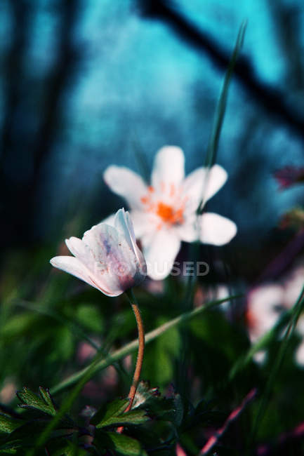 Closeup view of blooming wild flowers growing outdoors — Stock Photo