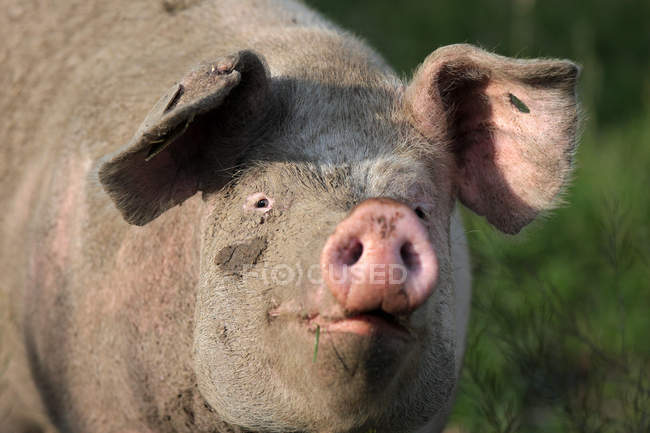 Close-up view of dirty domestic pig — Stock Photo