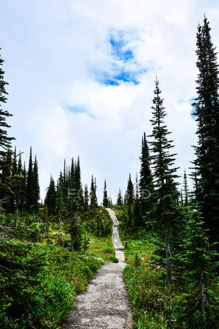 Path among spruce trees — Stock Photo