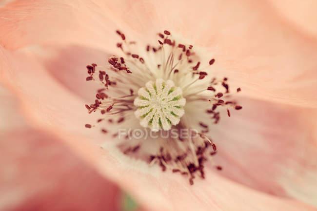 Bellissimo fiore di papavero — Foto stock