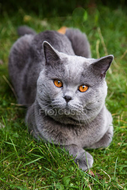 British cat sitting in grass — Stock Photo