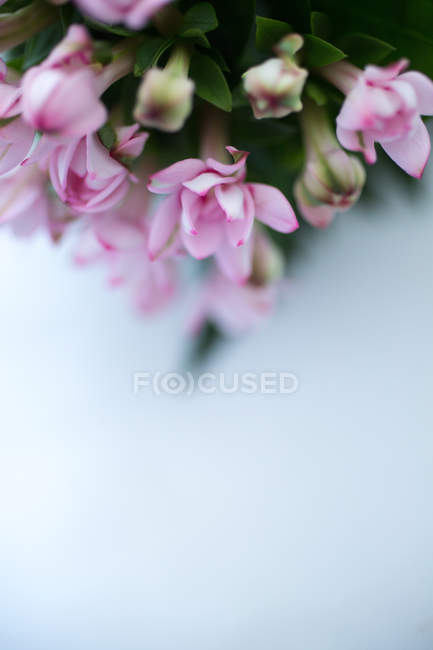 Closeup view of pink flowering plant on white background — Stock Photo