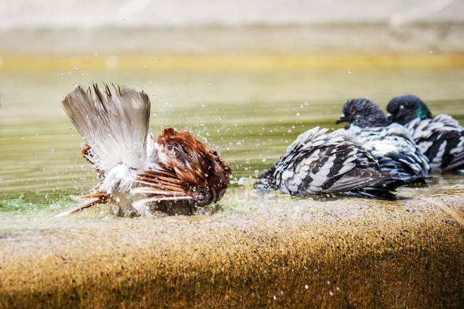 Pigeons bathing in city fountain water with splashes — Stock Photo