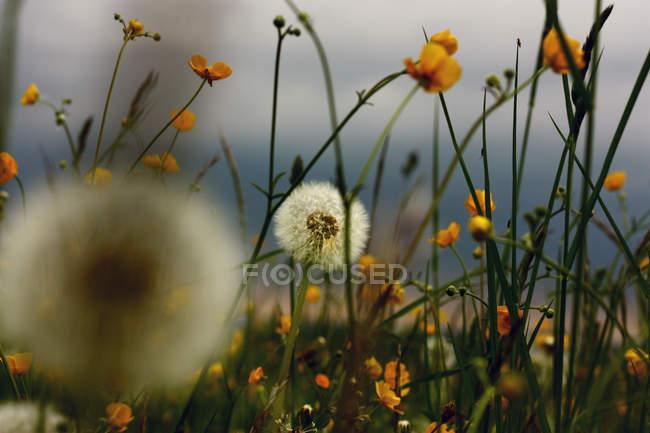Одуванчик цветы цветут — стоковое фото