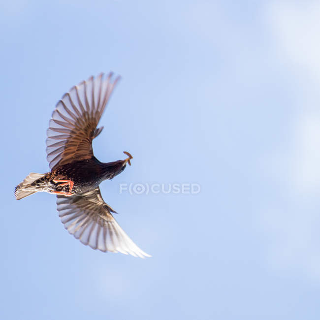 Inquadratura dal basso dell'uccello di volo con vite senza fine in becco — Foto stock