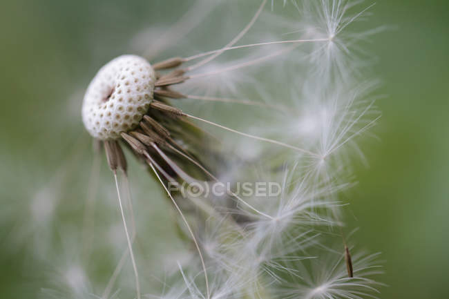 White dandelion flower — Stock Photo