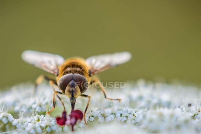 Closeup de volar sentado en las flores de hierbas silvestres - foto de stock