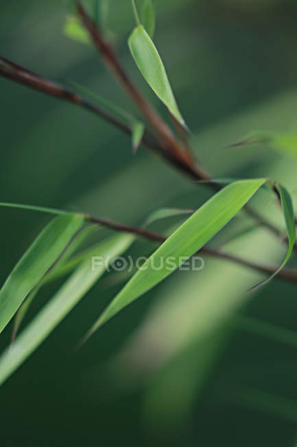 Bamboo plant leaves — Stock Photo