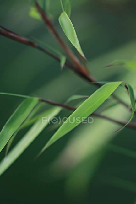 Bambusblätter der Pflanze — Stockfoto