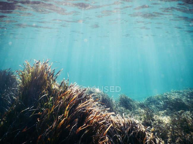 Unterwasser-Szene mit Algen im Sonnenlicht — Stockfoto