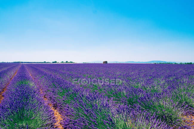 Landscape with lavender field — Stock Photo