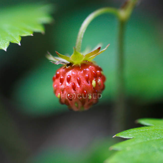 One strawberry on plant — Stock Photo