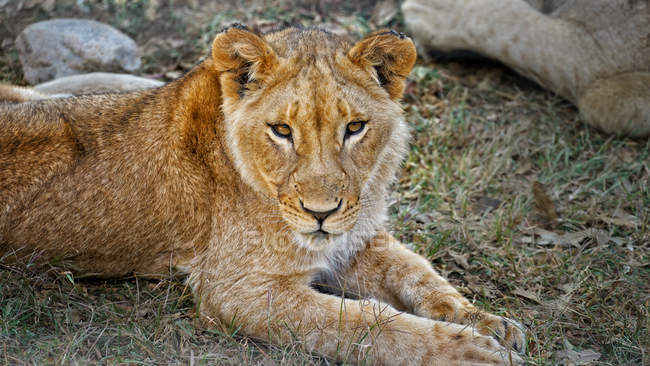 Lion cub lying on grass — Stock Photo