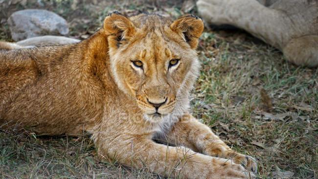 Filhote de leão deitado na grama — Fotografia de Stock