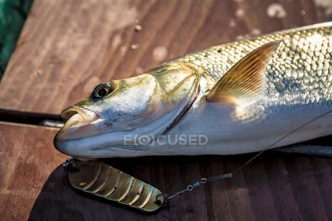 Vista diurna de cerca de peces enganchados asp con cuchara de cebo en la superficie de madera - foto de stock