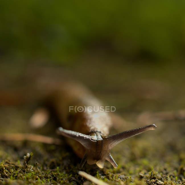 Closeup of crawling slug, selective focus — Stock Photo