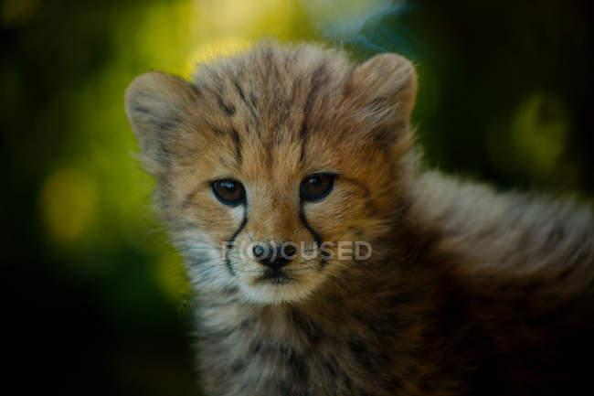 Vista do close-up da cabeça do filhote de Guepardo — Fotografia de Stock