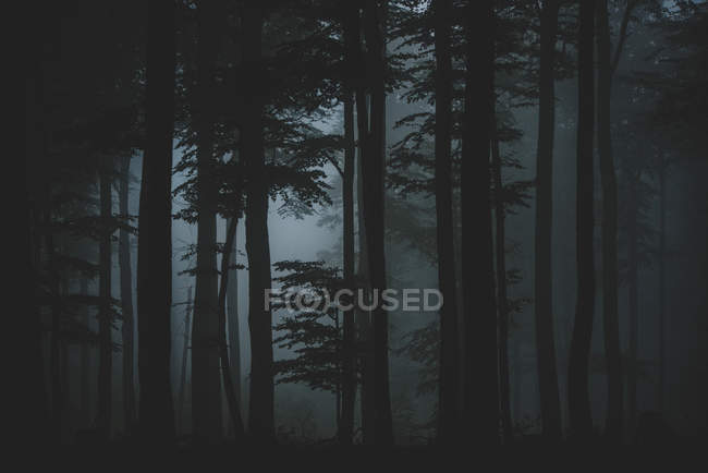 Trees in dark misty forest — Stock Photo