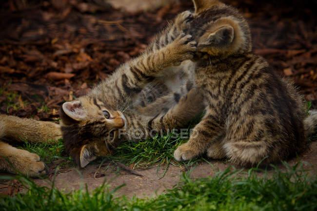 Дикая кошка котята игра — стоковое фото