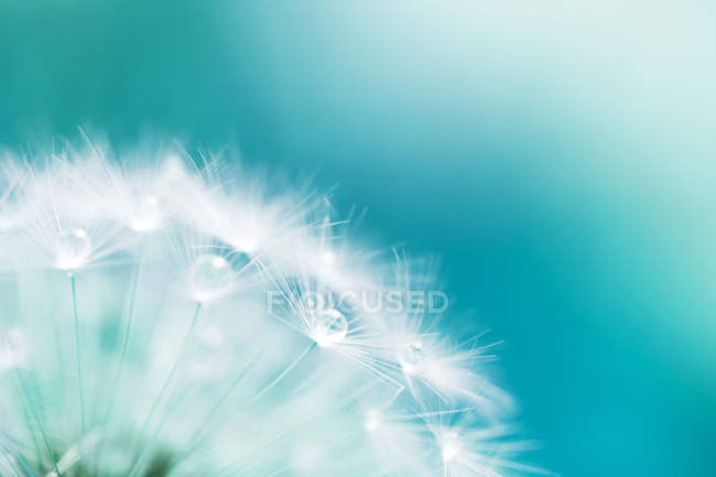 White dandelion flower stock photo 158025644 white dandelion flower stock photo mightylinksfo