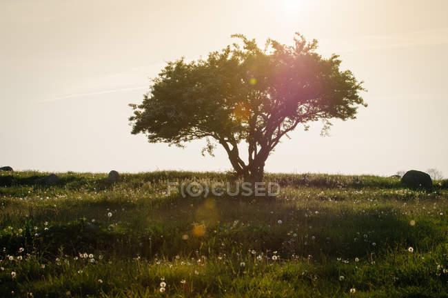 Löwenzahn Blumen und Baum — Stockfoto