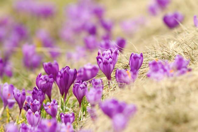 Primavera azafranes en Prado de montaña - foto de stock