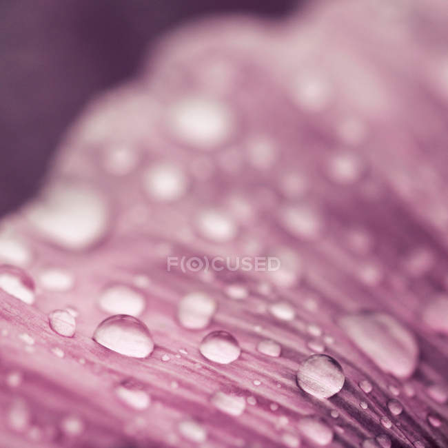 Макросъемки лепесток розовый цветок с дождевой капли — стоковое фото
