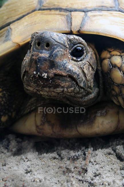 Schildkröte Reptil im natürlichen Lebensraum — Stockfoto