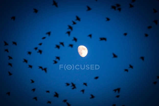 Flock of birds flying in sky and moon view — Stock Photo