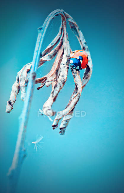 Pequeña Mariquita, Coccinella magnifica - foto de stock