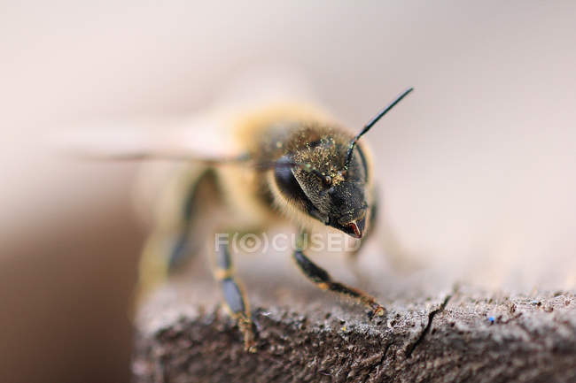 Bee crawling on wooden surface — Photo de stock