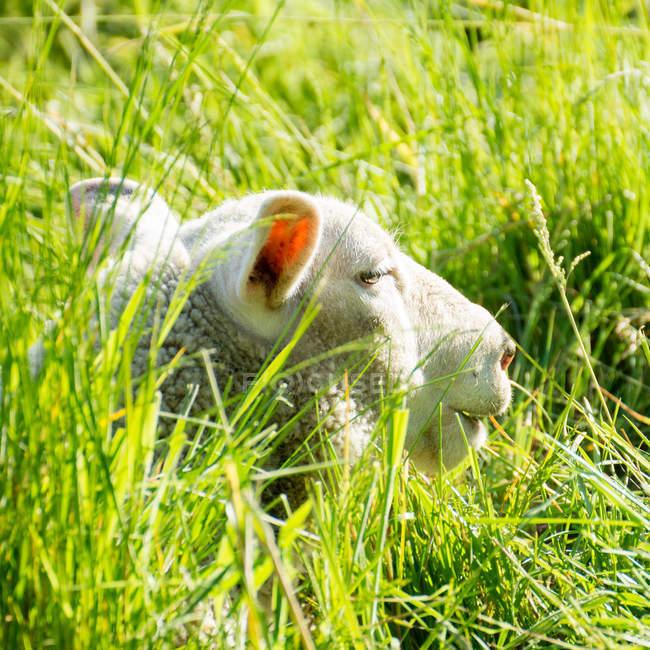 Sheep lying in green grass — Stock Photo
