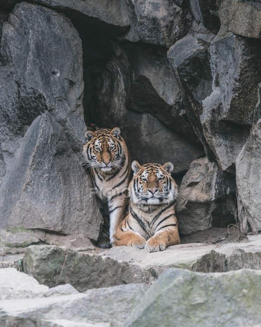 Два взрослых тигров в горах пород — стоковое фото