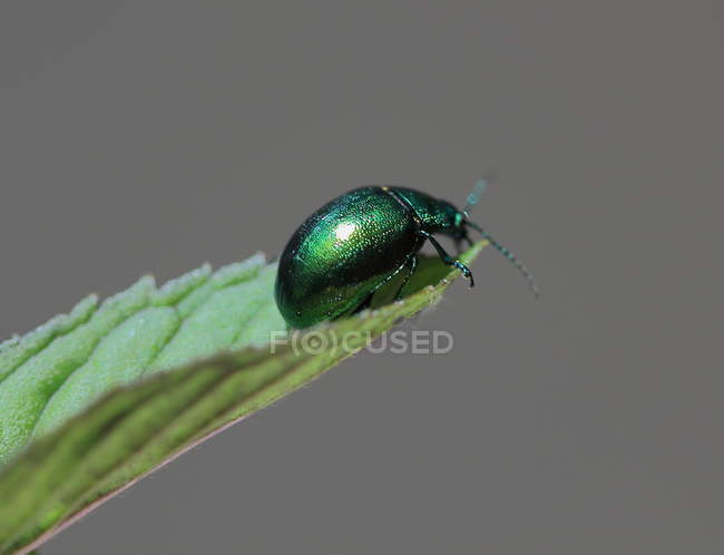 Beetle sur feuille verte — Photo de stock