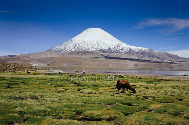 Wild animals grazing on meadow against snow covered mountain peaks — Stock Photo