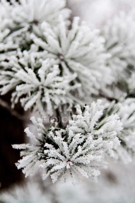 Ветви деревьев ель в снегу — стоковое фото