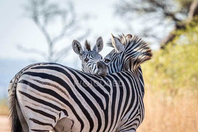 Vista de zebras selvagens no habitat natural — Fotografia de Stock