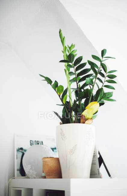 Growing houseplant in white vase pot on shelf in room — Stock Photo