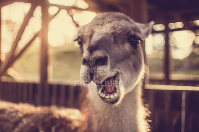 Llama, Lama glama — стоковое фото
