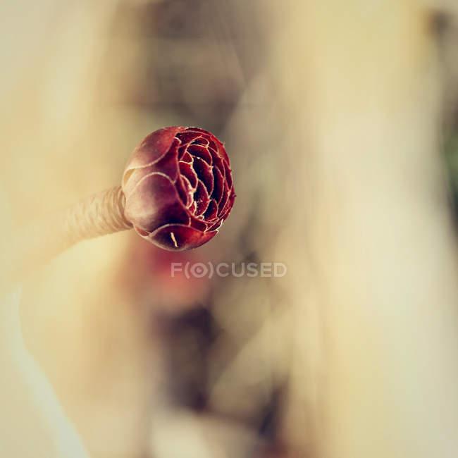 Nahaufnahme der Blüte Sukkulente — Stockfoto