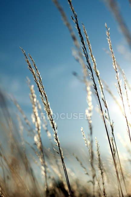 Дикие травы стебли в солнце — стоковое фото