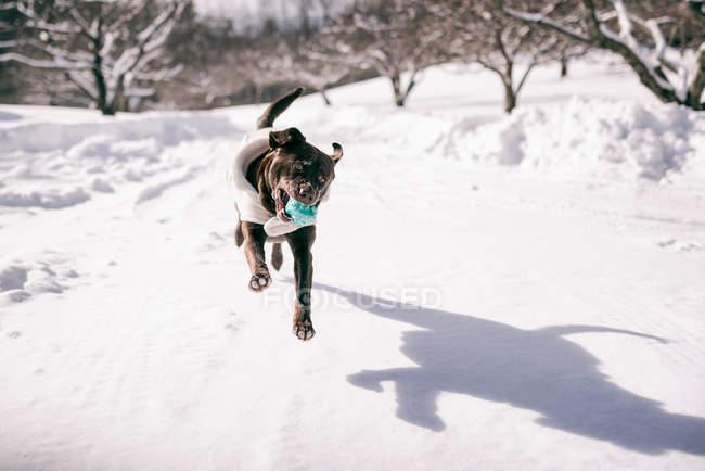 Собака, играя на открытом воздухе зимой — стоковое фото
