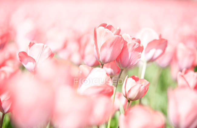 Tulip flowers on field — Stock Photo
