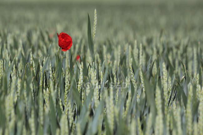 Tiny poppy flower on field — Stock Photo