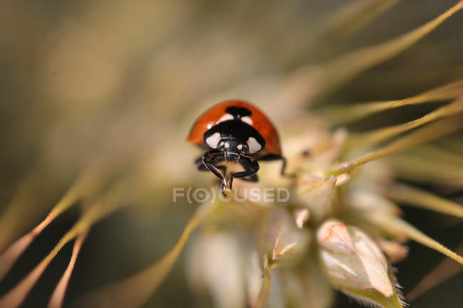 Tiny ladybug, Coccinella magnifica — Stock Photo