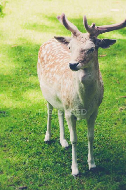 Vista frontal do pé de jovens cervos manchados na grama — Fotografia de Stock