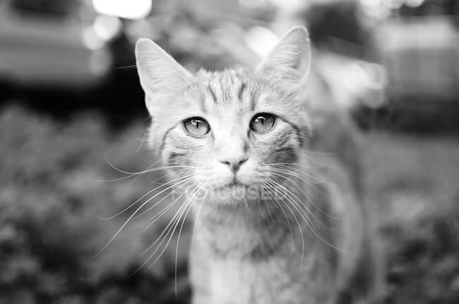 Closeup vista do focinho do gato olhando para a câmera — Fotografia de Stock